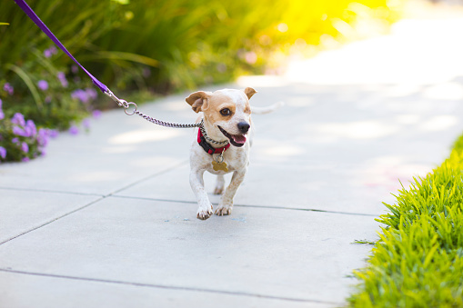 Charitable Foundation「Happy Beagle on a Sidewalk - The Amanda Collection」:スマホ壁紙(9)
