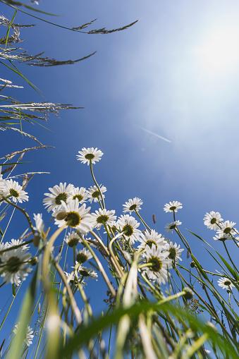 Blossom「White marguerites against blue sky」:スマホ壁紙(18)
