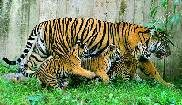 Striped「New Tiger Cubs Debut At National Zoo」:写真・画像(4)[壁紙.com]