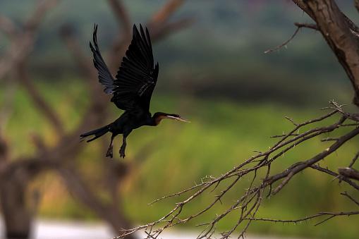 Lake Baringo「African Darter in flight in Lake Baringo.」:スマホ壁紙(8)