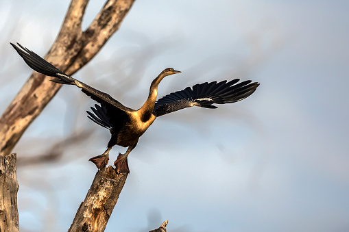 Lake Baringo「African Darter spreading its wings in Lake Baringo.」:スマホ壁紙(9)