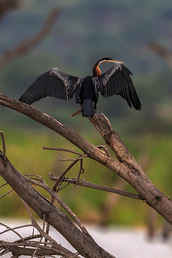 Lake Baringo「African Darter spreading its wings in Lake Baringo.」:スマホ壁紙(12)