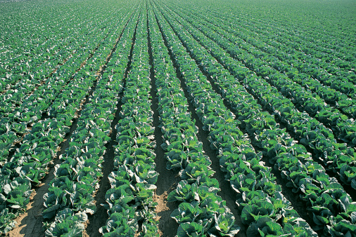 Plowed Field「Crop of Cabbage Growing in Lines in a Ploughed Field, Salinas, California, USA」:スマホ壁紙(12)