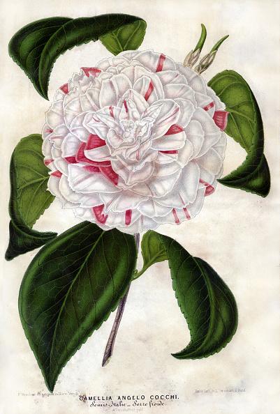 No People「Camellia Or Tea Flower」:写真・画像(15)[壁紙.com]
