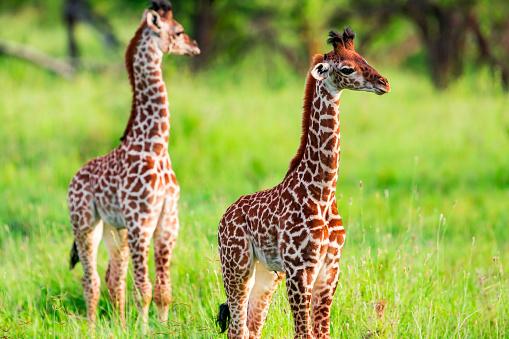 Giraffe「Newborn Giraffe Calf with umbilical cord at wild in Serengeti」:スマホ壁紙(8)
