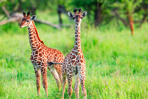 Giraffe「Newborn Giraffe Calf with umbilical cord at wild in Serengeti」:スマホ壁紙(6)