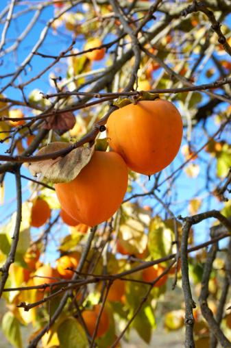 柿「オーガニックフルーツ木の枝にパーシモン」:スマホ壁紙(7)