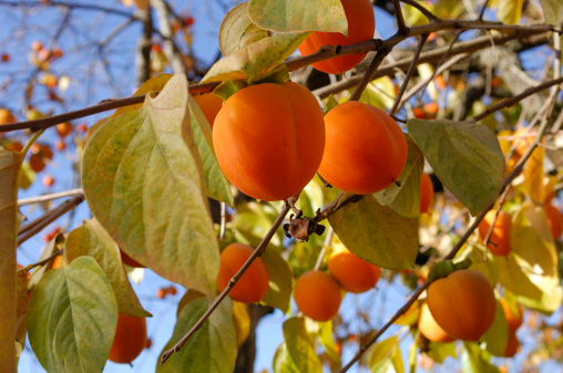 persimmon「Organic Persimmon Fruit On Tree Branch」:スマホ壁紙(4)