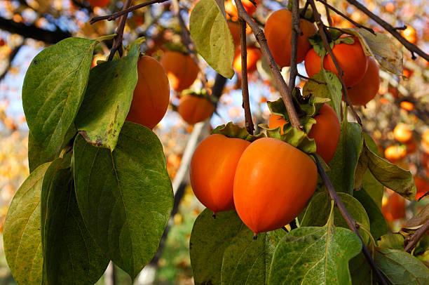 オーガニックフルーツ木の枝にパーシモン:スマホ壁紙(壁紙.com)