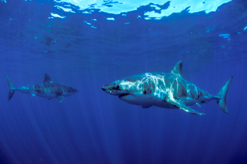 Threats「Two great white sharks (Carcharodon carcharias), underwater view」:スマホ壁紙(9)