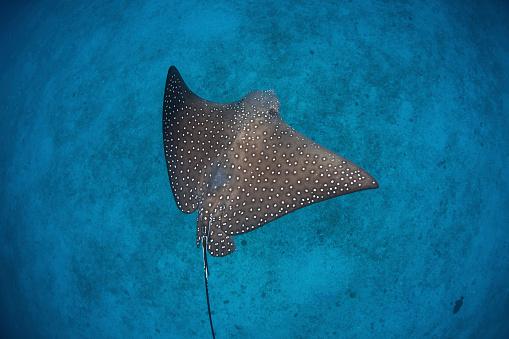 熱帯魚「A spotted eagle ray swims over the seafloor near Cocos Island, Costa Rica.」:スマホ壁紙(6)