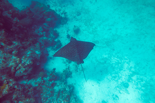 熱帯魚「Spotted Eagle Ray, Aetobatus narinari, along the northern shore of Providenciales, Turks and Caicos.」:スマホ壁紙(0)