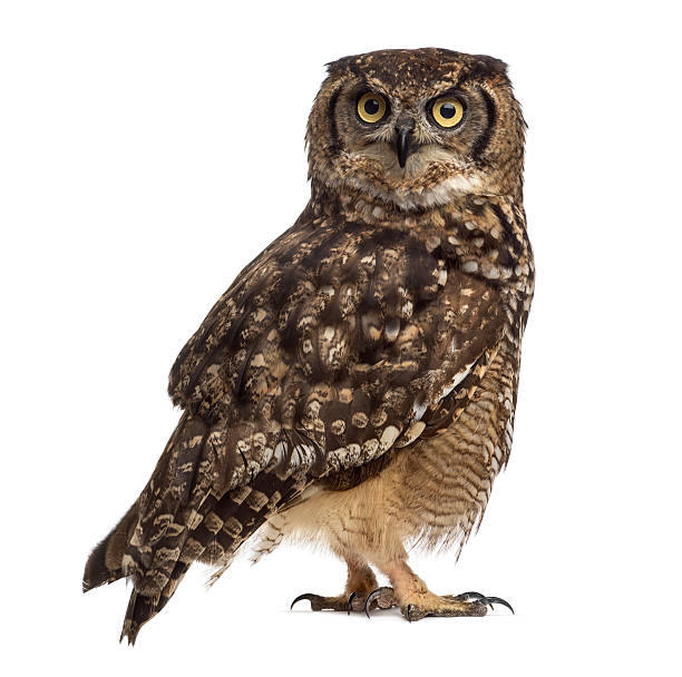 Spotted eagle-owl isolated on white:スマホ壁紙(壁紙.com)