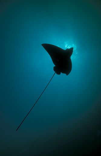 熱帯魚「Spotted eagle ray silhouetted against the sun, Maldives.」:スマホ壁紙(19)