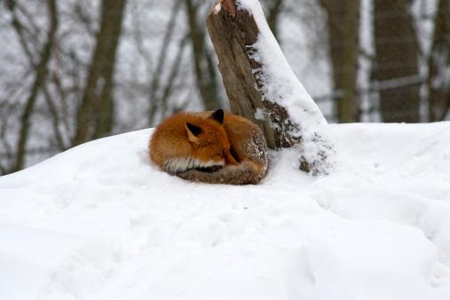 Fox「Red fox (V. vulpes)」:スマホ壁紙(2)