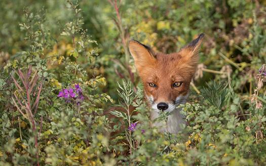 Animals Hunting「Red fox」:スマホ壁紙(19)