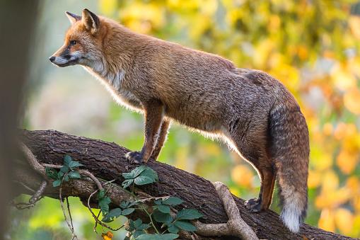 Red Fox「Red Fox (Vulpes vulpes)」:スマホ壁紙(17)