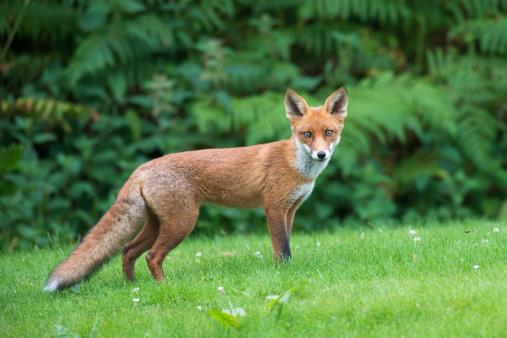 Red Fox「Red fox」:スマホ壁紙(10)