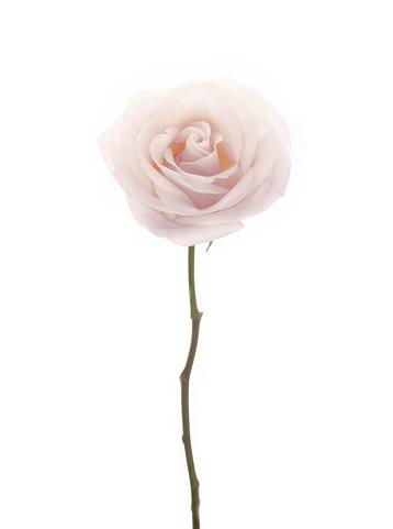 Rose「Delicate, perfumed, white rose on white background.」:スマホ壁紙(5)