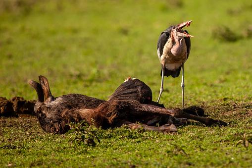 Runaway「The marabou stork (leptoptilos crumenifer) is eating a carrion of wildebeest at plain」:スマホ壁紙(18)