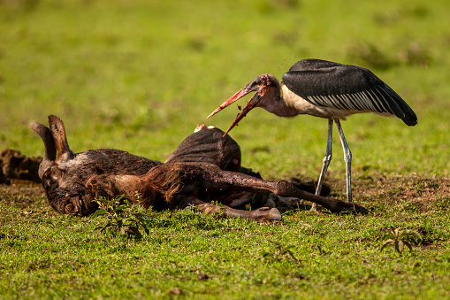 Runaway「The marabou stork (leptoptilos crumenifer) scavenging at plain」:スマホ壁紙(13)