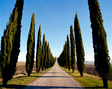 Cypress Tree「Gravel road lined with Cypress Trees」:スマホ壁紙(5)