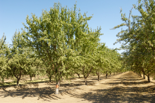Grove「Almond Orchard With Fruit on Trees」:スマホ壁紙(15)