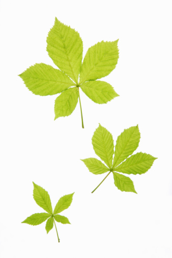 Chestnut Tree「Assorted horse chestnut leaves, close-up」:スマホ壁紙(5)