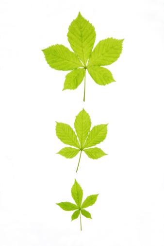 chestnut「Assorted horse chestnut leaves, close-up」:スマホ壁紙(3)