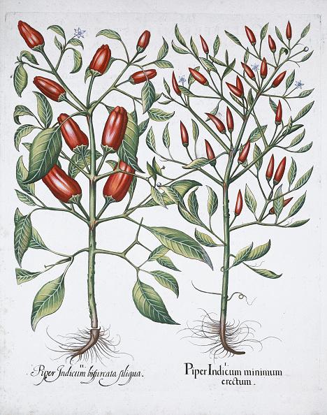 Chili Con Carne「Chilli Pepper Plants 1613」:写真・画像(1)[壁紙.com]