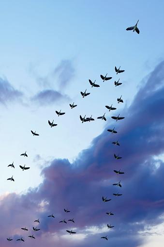 Flock Of Birds「migrating canada geese」:スマホ壁紙(1)