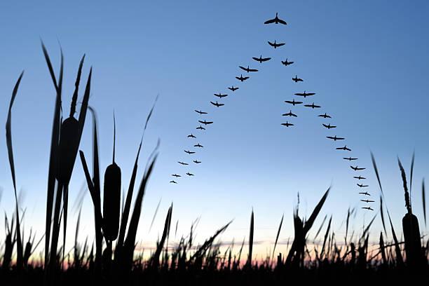 XXL migrating canada geese:スマホ壁紙(壁紙.com)