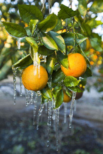 Grove「Cold Temperatures Continue To Endanger Florida Citrus Crops」:写真・画像(13)[壁紙.com]