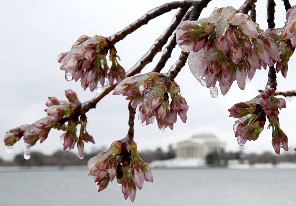 Cherry Blossom「Major Blizzard Hammers East Coast With High Winds And Heavy Snow」:写真・画像(4)[壁紙.com]