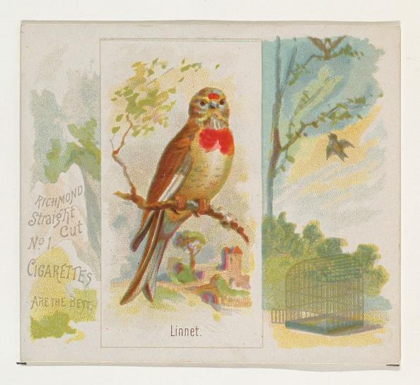 Songbird「Linnet」:写真・画像(17)[壁紙.com]