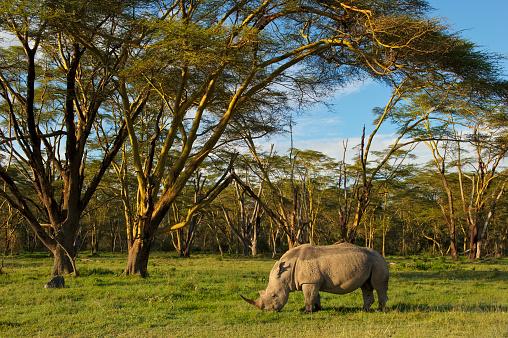 Poaching - Animal Welfare「African White rhinoceros (Ceratotherium simum) grazing Alone at the golden forest of Fever Trees in Lake Nakuru, Kenya」:スマホ壁紙(6)
