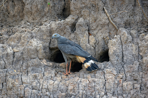 Hawk - Bird「Gray Crane-Hawk」:スマホ壁紙(10)