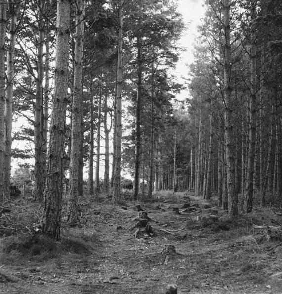 Tranquil Scene「Pine Forest」:写真・画像(7)[壁紙.com]