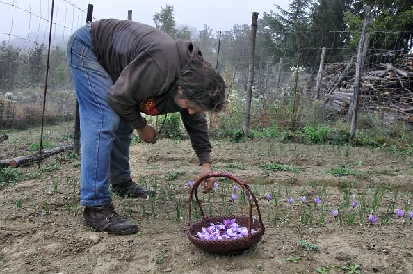 Spice「Harvesting Saffron」:写真・画像(14)[壁紙.com]