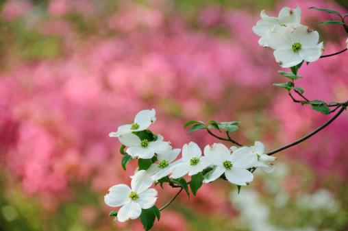 Dogwood「Flowering dogwood blossoms」:スマホ壁紙(6)