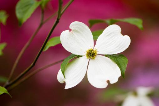 Dogwood「Flowering dogwood blossoms」:スマホ壁紙(13)