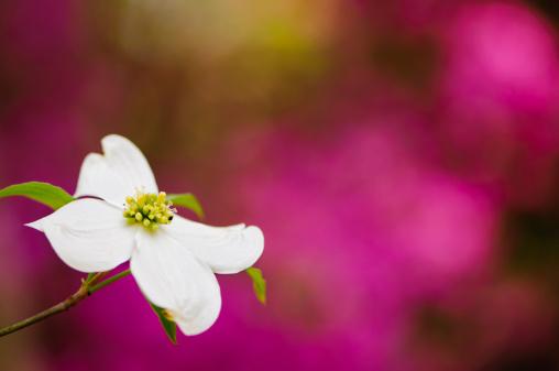 Dogwood「Flowering dogwood blossoms」:スマホ壁紙(16)