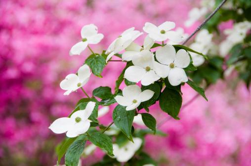Dogwood「Flowering dogwood in spring.」:スマホ壁紙(3)