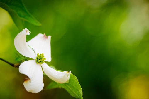 Dogwood「Flowering dogwood blossom」:スマホ壁紙(10)