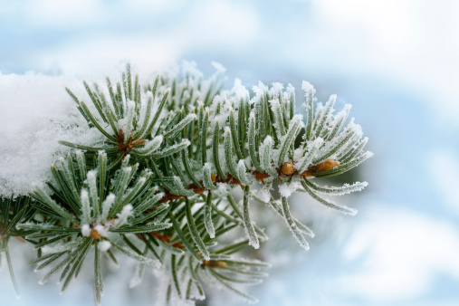 Snow「Frozen fir tree branch」:スマホ壁紙(0)