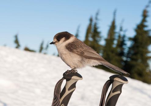 スキーストック「whiskey jack (Perisoreus canadensis) on ski poles」:スマホ壁紙(16)