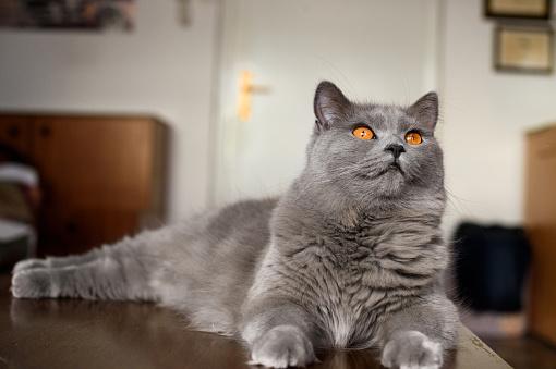 Animal Whisker「Gray cat Looking up」:スマホ壁紙(18)