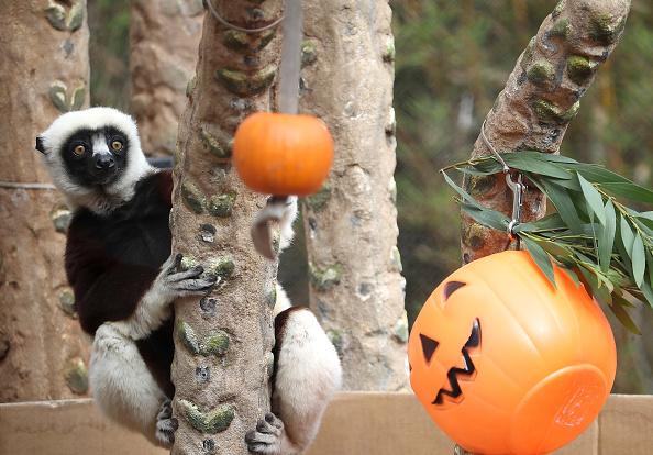 Pumpkin「Lemur's At The San Francisco Zoo Receive Pumpkin Treat Ahead Of Halloween」:写真・画像(13)[壁紙.com]