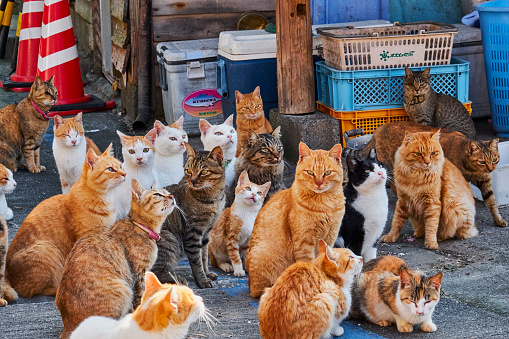 Stray Animal「Japan, Cat island, Aoshima island」:スマホ壁紙(13)