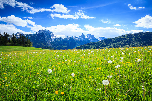Salzkammergut「Alpen Landscape - Green Field Meadow full of spring flowers - selective focus (For diffrent focus point check the other images in the series)」:スマホ壁紙(12)